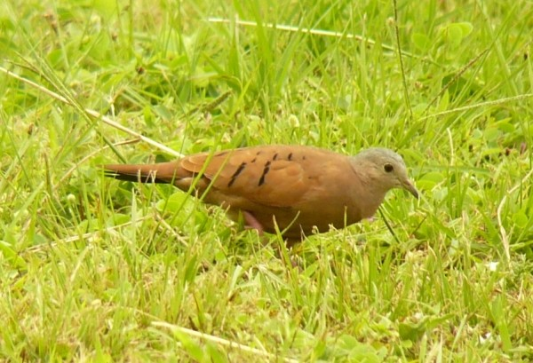 Ruddy Ground-Dove, male