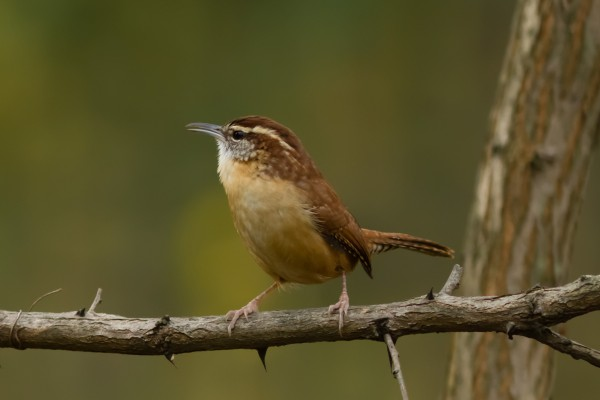 Carolina Wren, National Harbor, MD