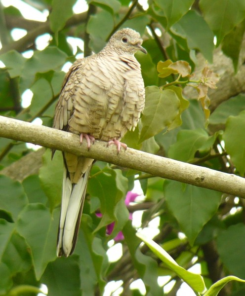 Inca Dove, out of the grass and into the Bouganvilleaa