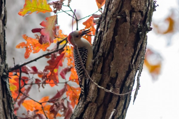 Red-bellied Woodpecker, Great Falls NP, VA <br/>