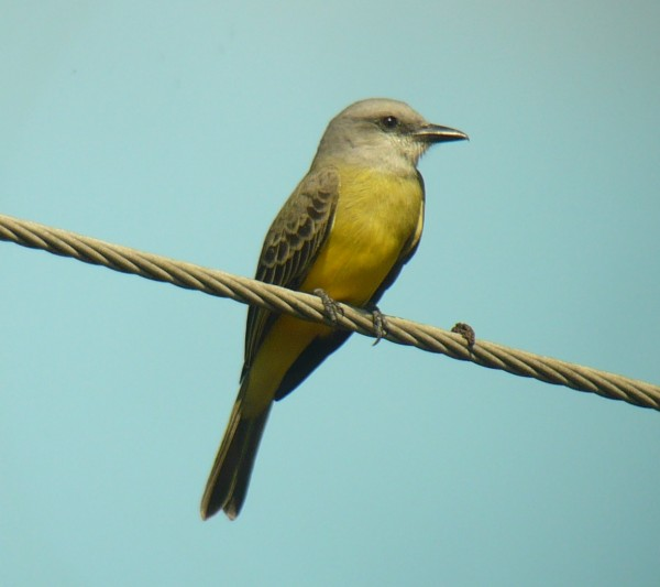 Tropical Kingbird looking regal despite perching next to the turd on t...