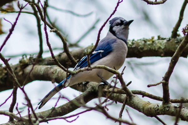 Blue Jay, Great Falls NP, VA