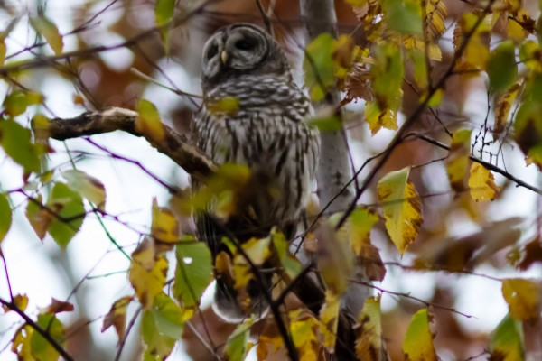 Barred Owl, Great Falls NP, VA