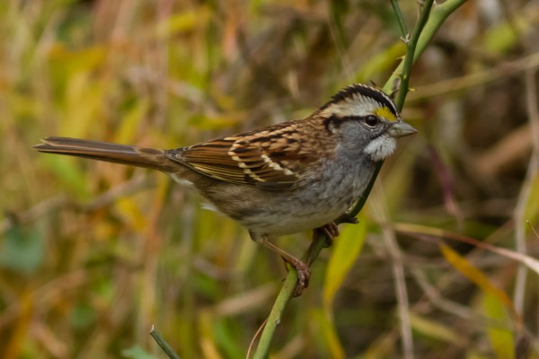 White-throated Sparrow, National Harbor, MD