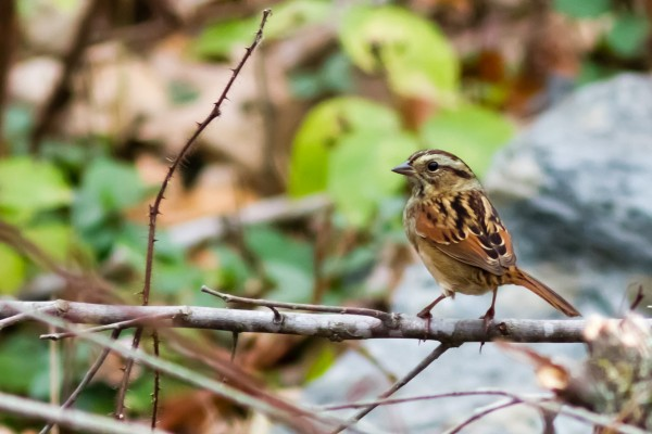 Swamp Sparrow, Great Falls NP, VA