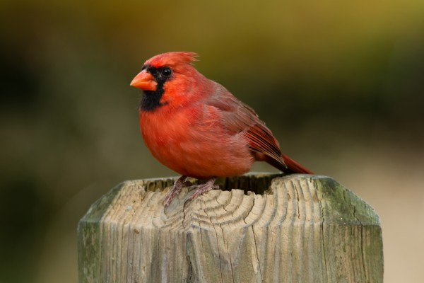 Northern Cardinal, National Zoo, DC