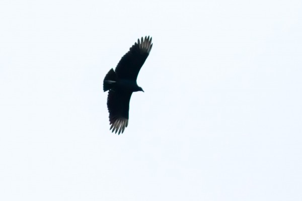 Black Vulture, Great Falls NP, VA