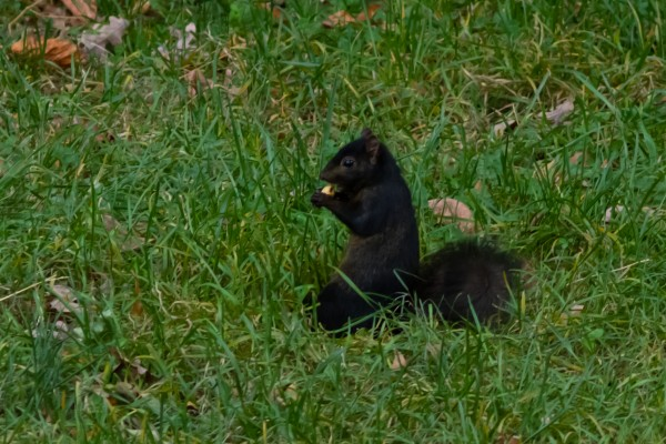 Black Squirrel - actually a melanistic variant of Eastern Gray Squirre...