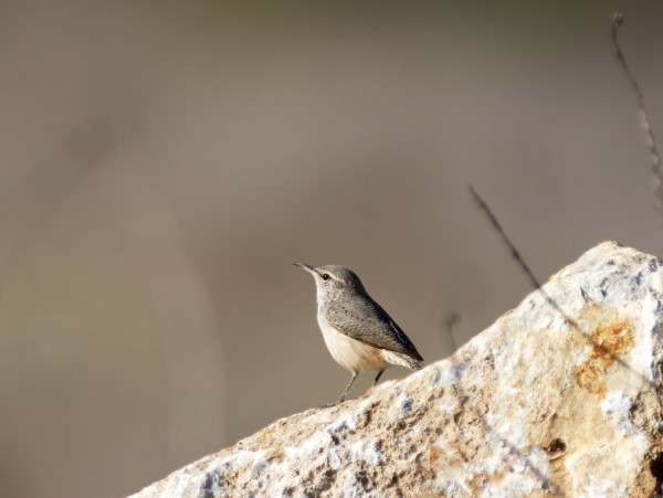 Rock Wren on a rock - pretty unusual for these parts