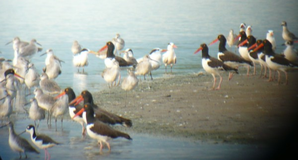 great afternoon light on a compact flock of American Oystercatchers bu...