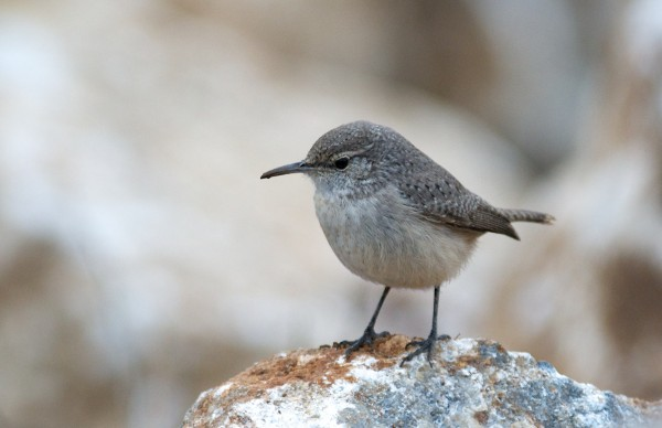 Rock Wren - unusual for Santa Cruz