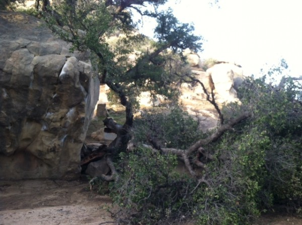 The huge oak tree that stands behind Concert Rock,had a huge section o...