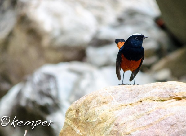 White-capped Redstart <br/>