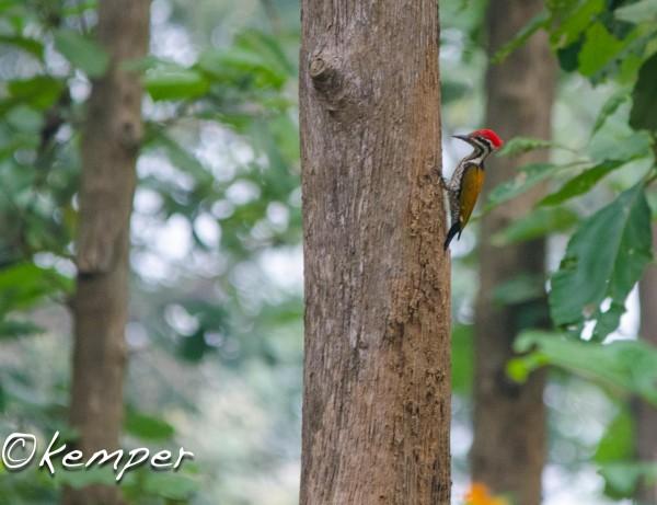 Himalayan Goldenback-Male Woodpecker