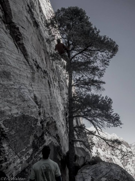 climbing the tree to clip bolt 1
