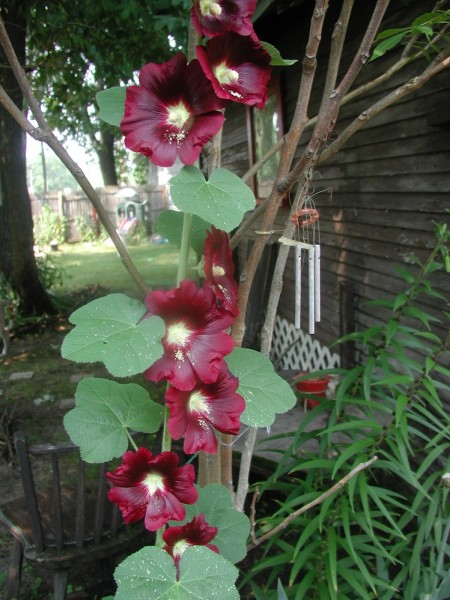 hollyhocks...  i have two plants... this one, and one on the other sid...