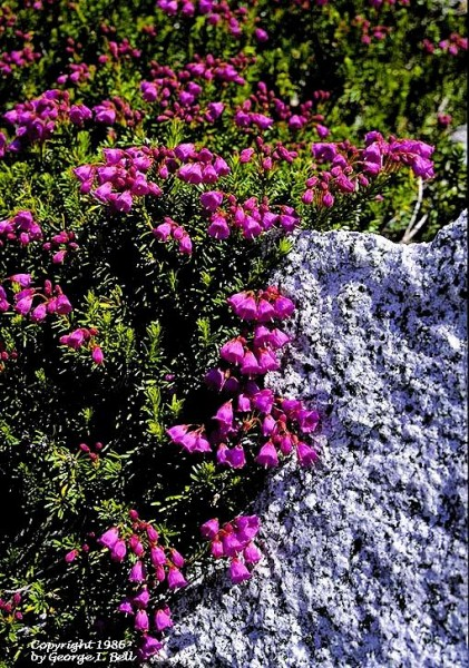 Heather and granite, Pacific NW