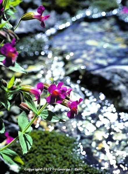 Monkeyflowers, Pacific NW