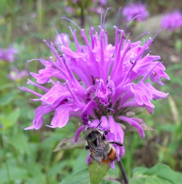 Monarda and pollenator