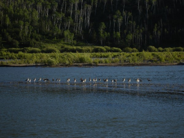 Snake River in springtime is a birder's paradise