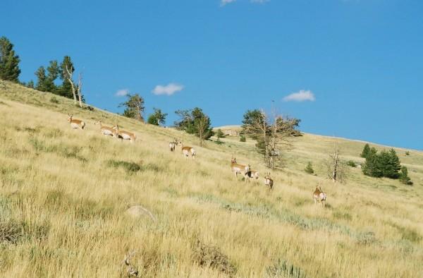 Antelope near Wild Iris.