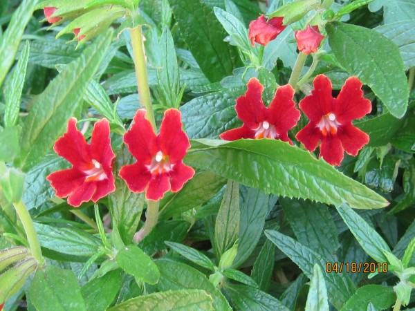 Red Monkeyflower