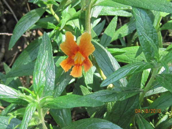 Orange Monkeyflower <br/>