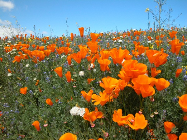 Wildflowers - Lancaster CA, 2003