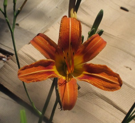 Day Lilies: Edible and beautiful!