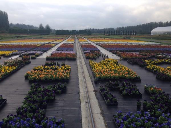 Field of pansies, sedums, and more.
