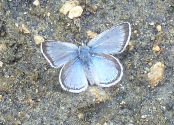 Western Blue Tailed, comparing with my butterfly book, but we have no ...