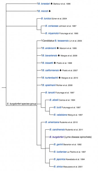 Borrelia genus...