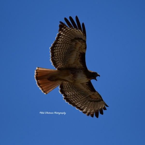 Redtail Hawk Kino Springs, AZ