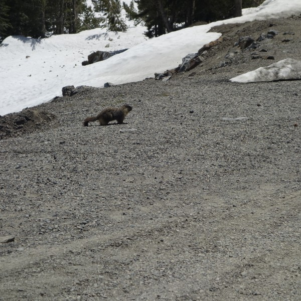 Saw a few of these wonderful Marmots at Tioga Lake. Looking healthy.