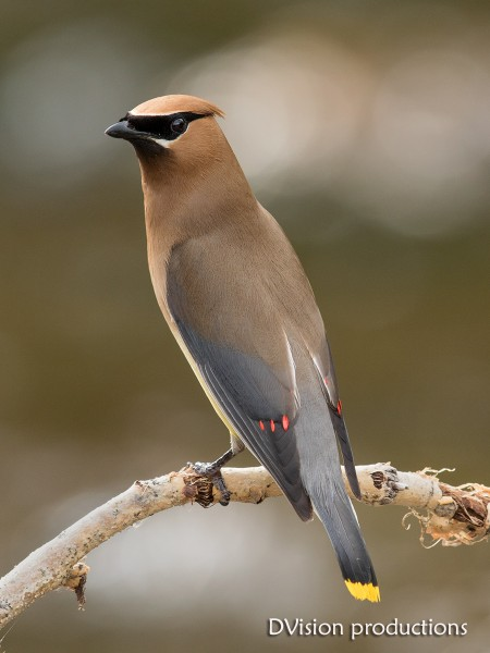 Cedar Waxwing taking a quick break from bugging on S Boulder Creek