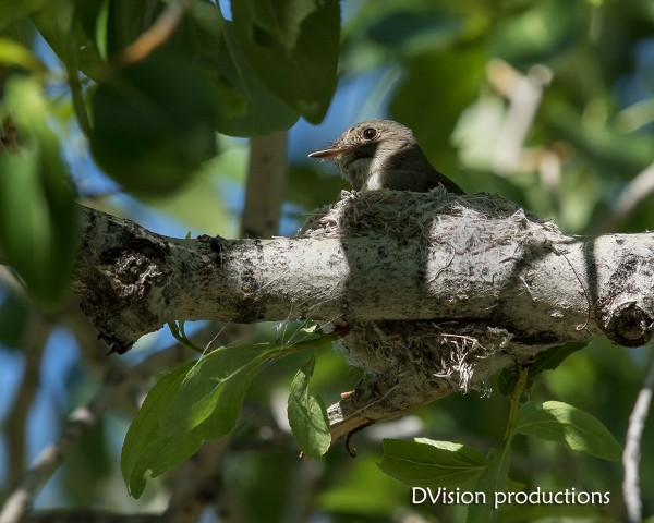 Western Wood Peewee on the nest