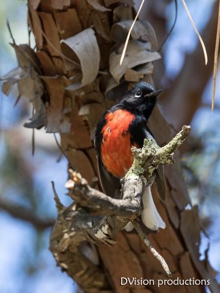 Painted Redstart, Portal AZ