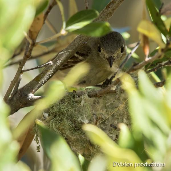 Hutton's Vireo building a nest, Portal AZ