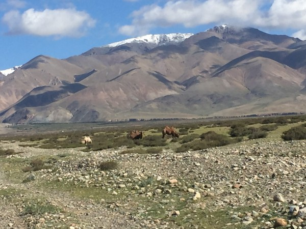 Bactrian camels as we approach the foot of the Sauyr Range. Photo Ed H...