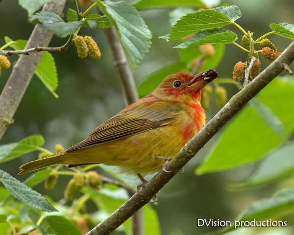 Juvenile Summer Tanager grabs a mulberry, High Island TX 4/17