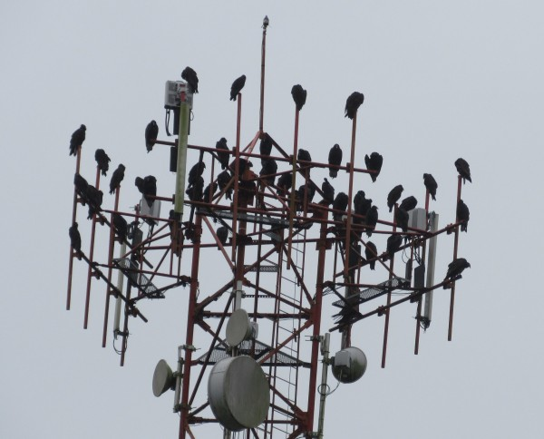 Turkey Vultures waiting for the sun to come out so they can continue t...