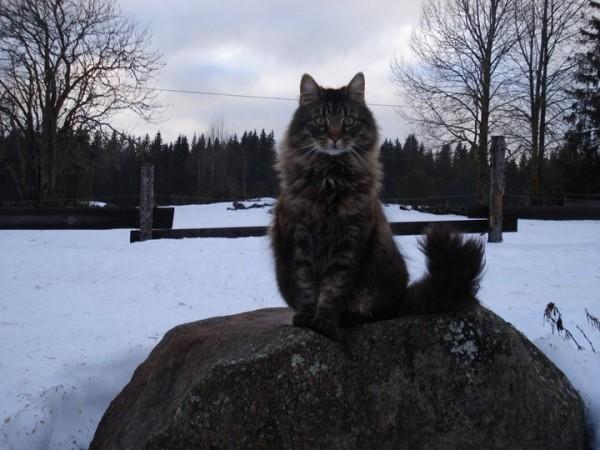 Skogkatt at Finnskogen