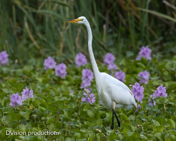 Great Egret, Brazos Bend SP Texas, 4/17
