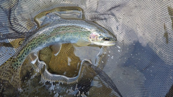 Rainbow trout, somewhere in the High Sierra