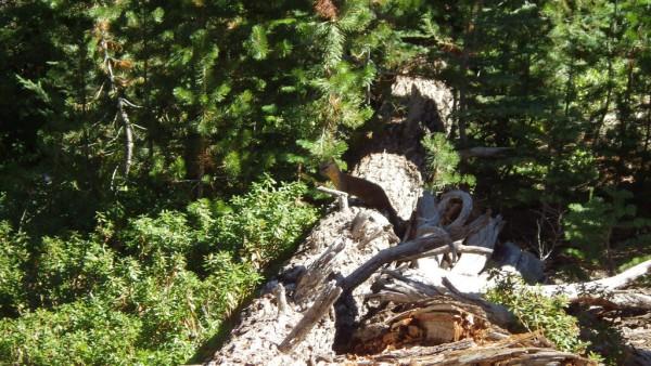 Pine Marten, Emigrant Wilderness, late season