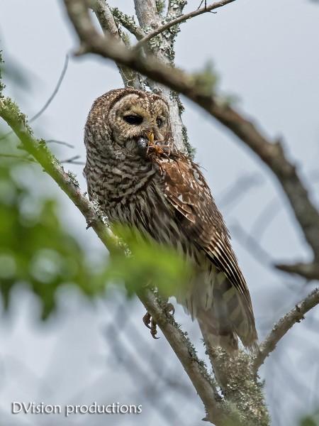 Barred Owl with a tasty crawdad