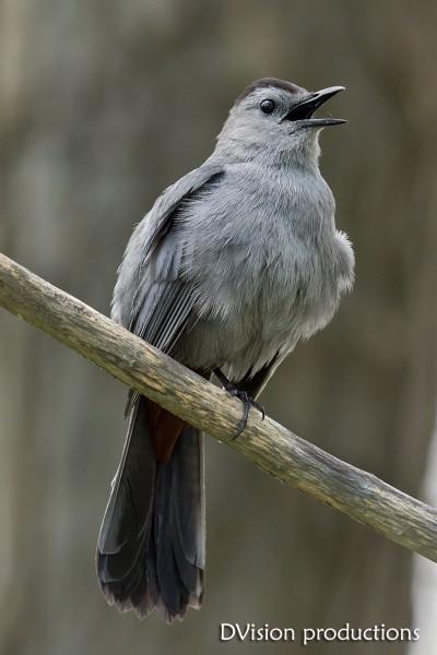 Gray Catbird, TX