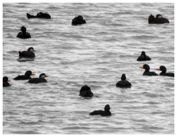 black-winged scoters