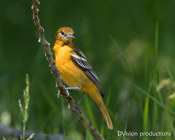 Baltimore Oriole, Magee Marsh OH