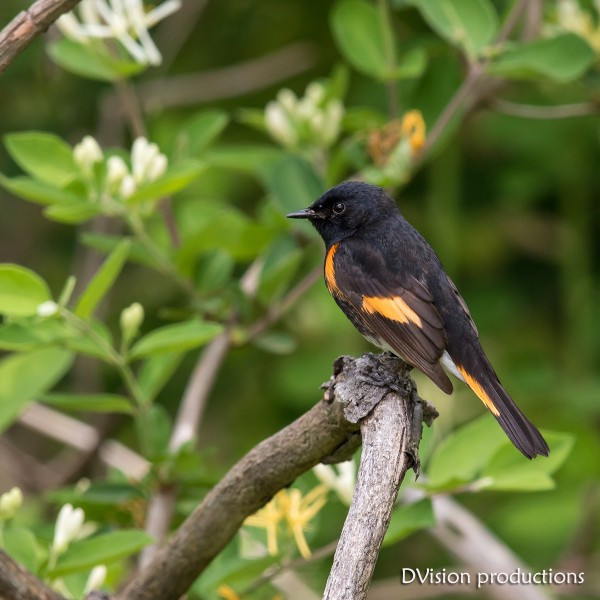 Painted Redstart, Magee Marsh OH